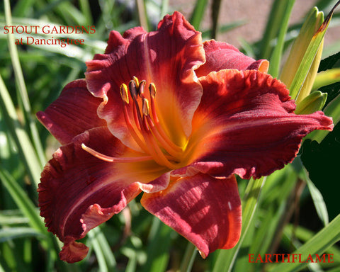 Daylily Earth Flame