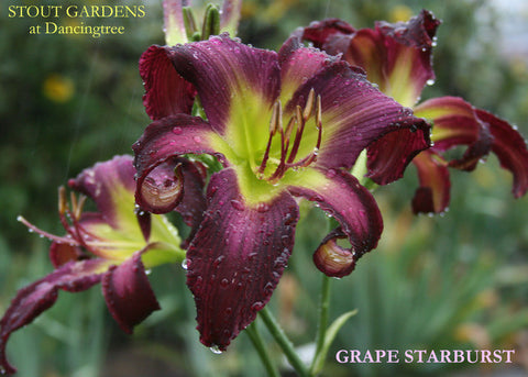 Daylily GRAPE STARBURST