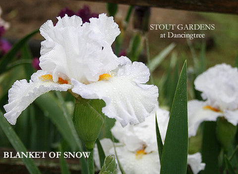 Iris Blanket Of Snow