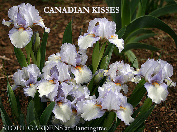 Iris CANADIAN KISSES
