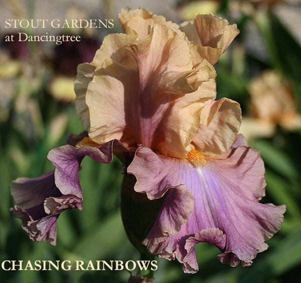 Iris CHASING RAINBOWS