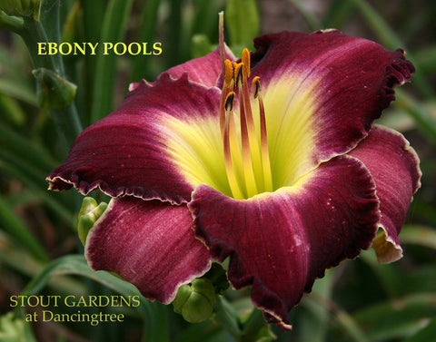Daylily Ebony Pools