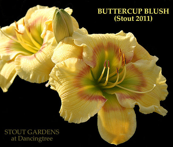 Daylily BUTTERCUP BLUSH