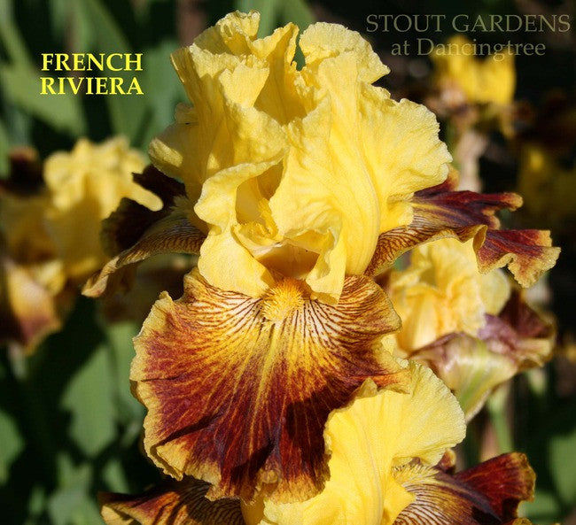 Iris FRENCH RIVIERA