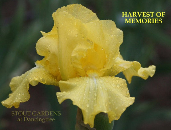 IRIS HARVEST OF MEMORIES