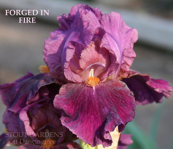 Iris FORGED IN FIRE
