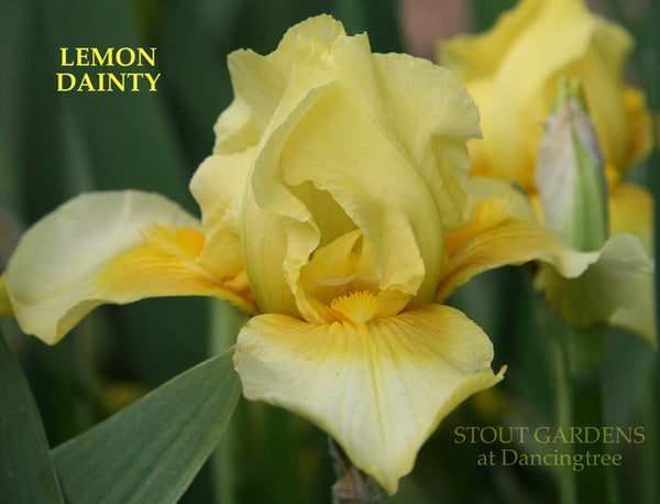 Iris LEMON DAINTY