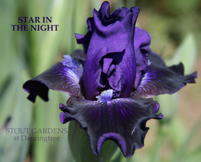 Iris STAR IN THE NIGHT