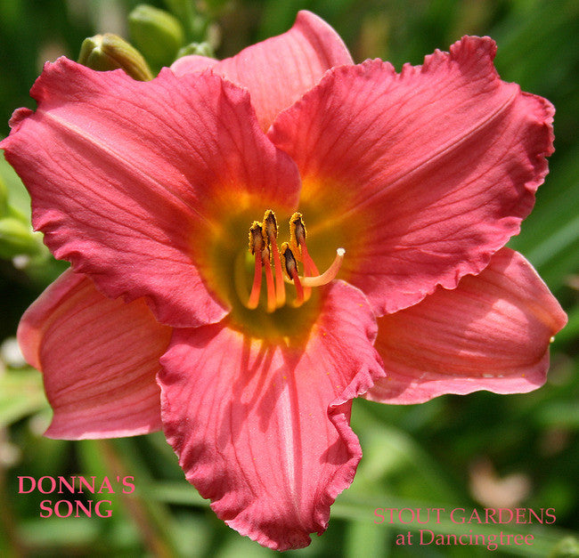 *Daylily DONNA'S SONG