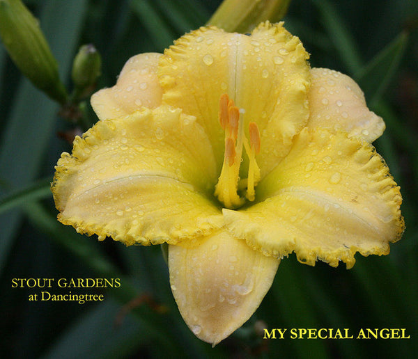 Daylily MY SPECIAL ANGEL
