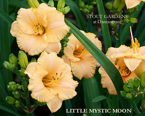 Daylily Little Mystic Moon