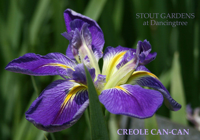 Iris CREOLE CAN-CAN