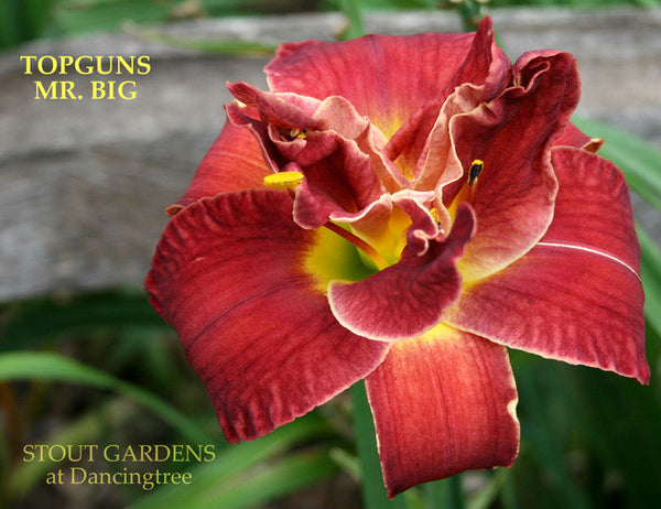 Daylily TOPGUNS MR. BIG