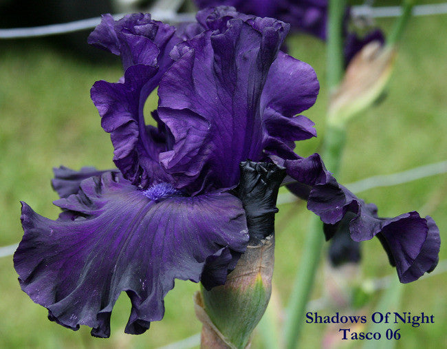 IRIS SHADOWS OF NIGHT