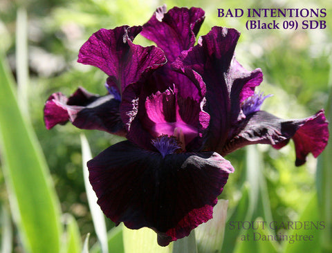 Iris BAD INTENTIONS