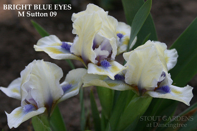 Iris BRIGHT BLUE EYES