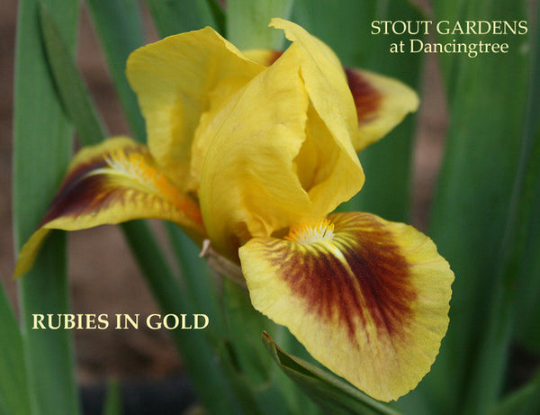 Iris RUBIES AND GOLD