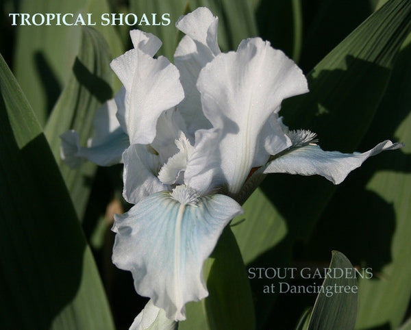 Iris TROPICAL SHOALS