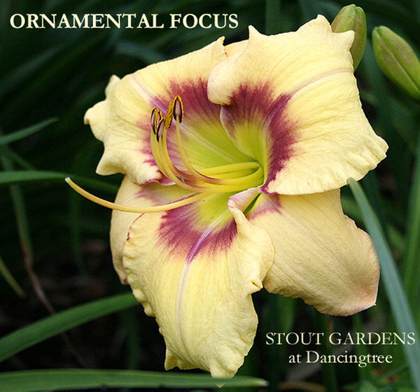Daylily ORNAMENTAL FOCUS