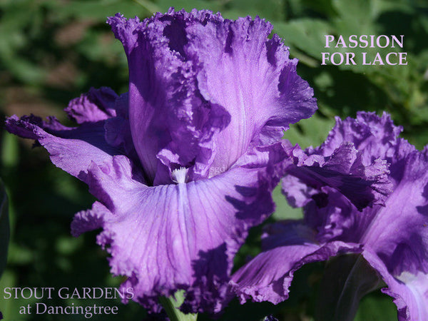Iris PASSION FOR LACE