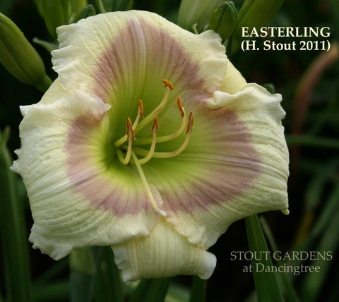 Daylily Easterling
