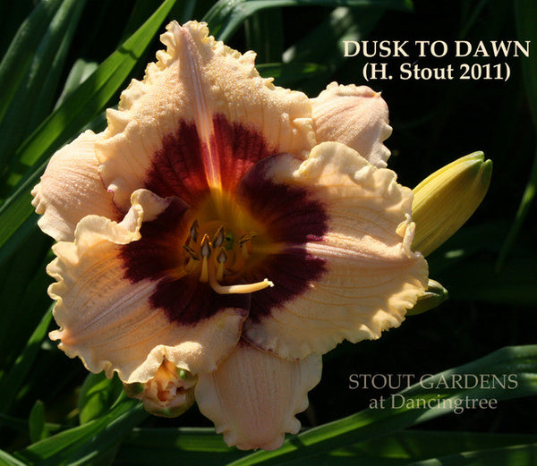 Daylily DUSK TO DAWN
