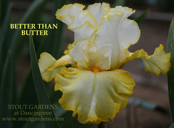 Iris BETTER THAN BUTTER
