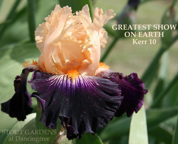 Iris GREATEST SHOW ON EARTH