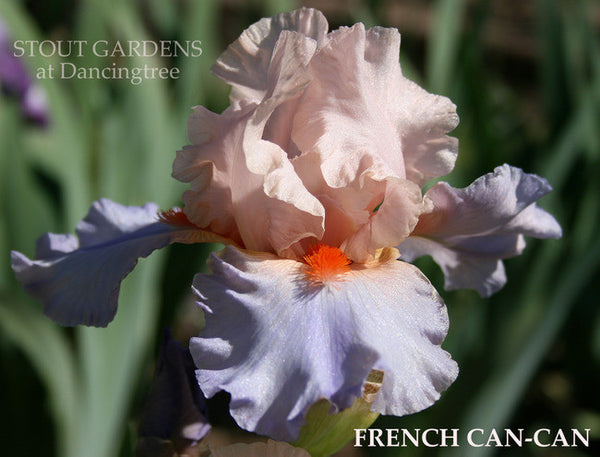 Iris FRENCH CANCAN