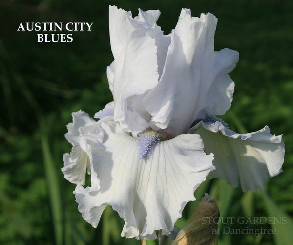 IRIS AUSTIN CITY BLUES