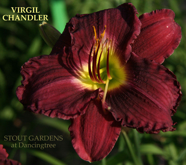 Daylily VIRGIL CHANDLER