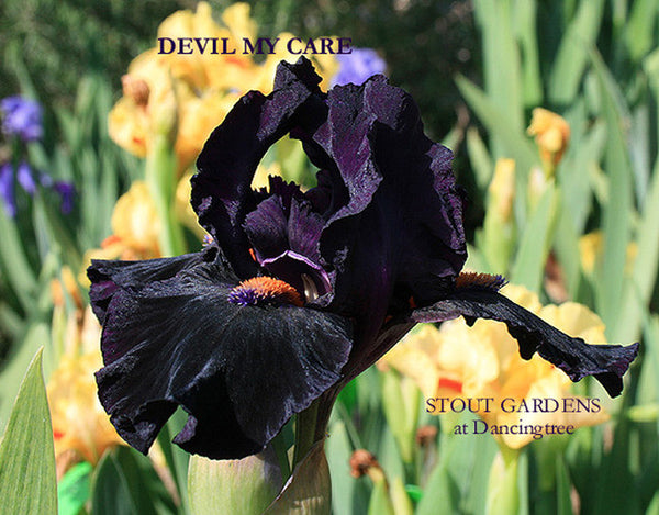 Iris DEVIL MAY CARE