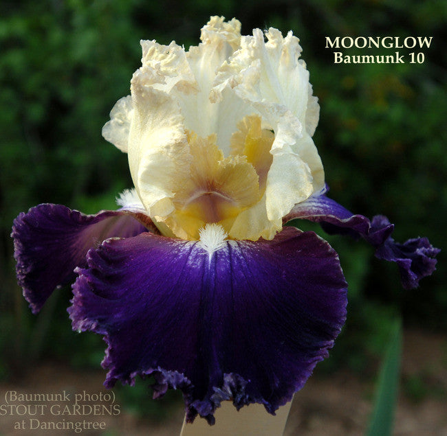 Iris MOONGLOW