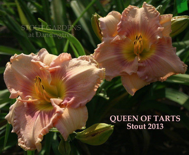 Daylily QUEEN OF TARTS