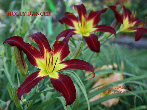 Daylily HOLLY DANCER