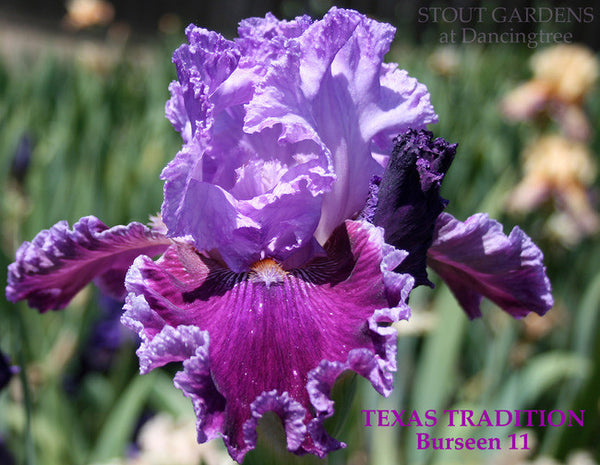 Iris TEXAS TRADITION