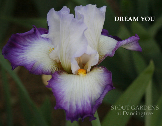 Iris DREAM YOU