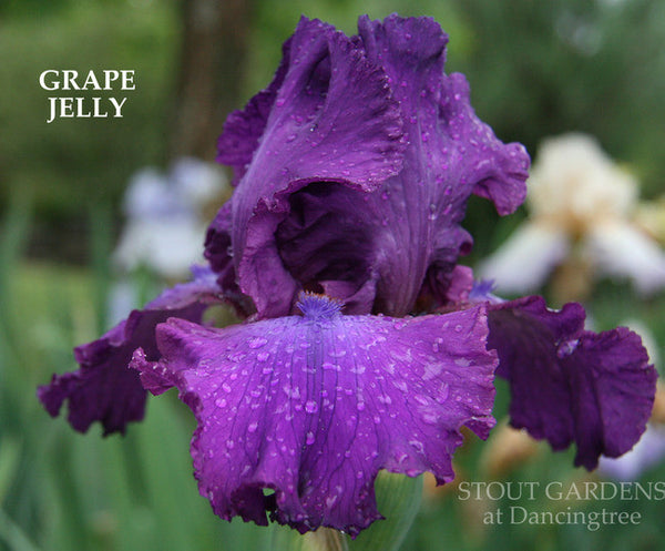 IRIS GRAPE JELLY