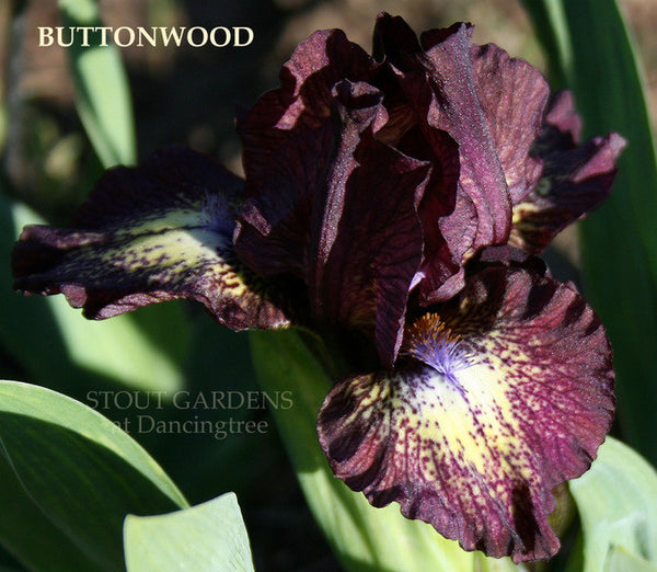 Iris BUTTONWOOD