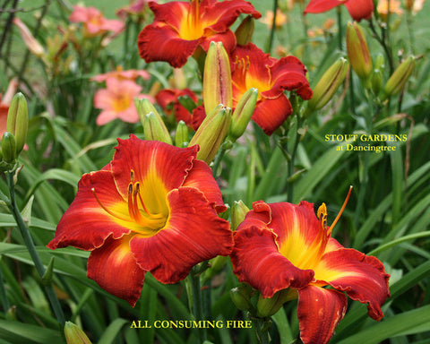 Daylily ALL CONSUMING FIRE