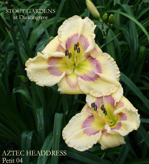 Daylily AZTEC HEADDRESS