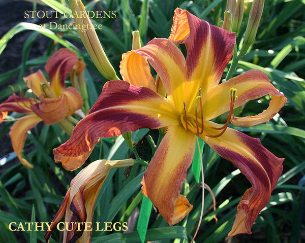Daylily CATHY CUTE LEGS