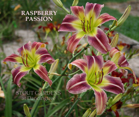 Daylily Raspberry Passion