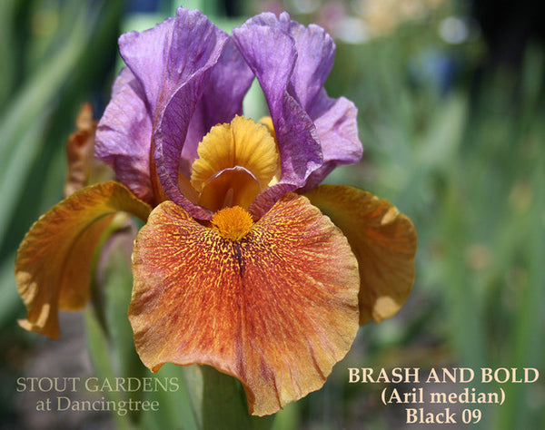 Iris BRASH AND BOLD