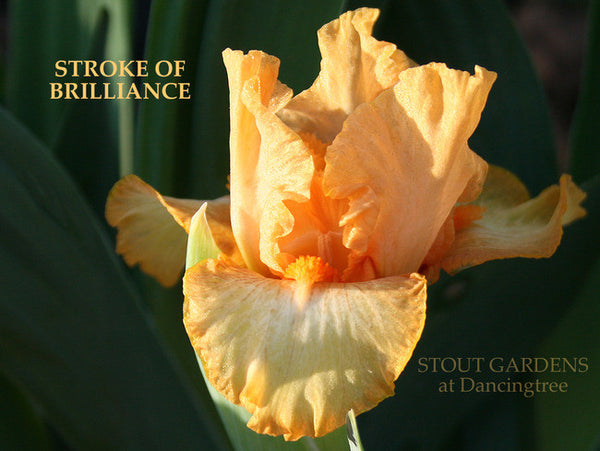 IRIS STROKE OF BRILLIANCE