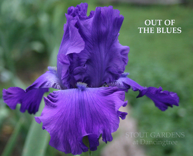 Iris OUT OF THE BLUES