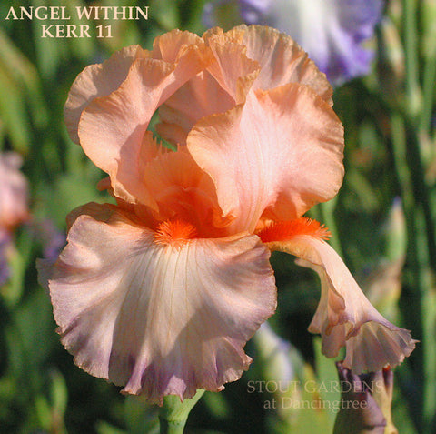 Iris ANGEL WITHIN