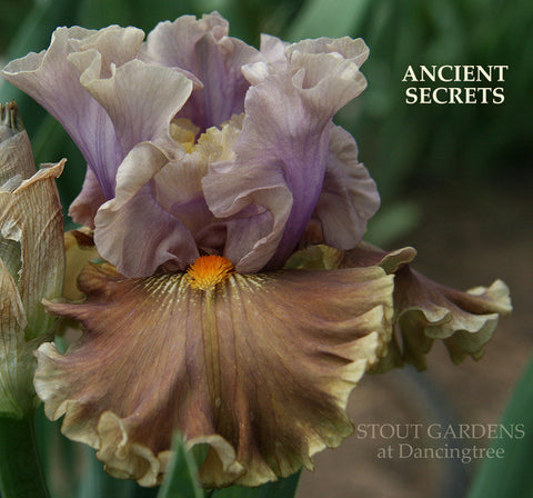 Iris ANCIENT SECRETS