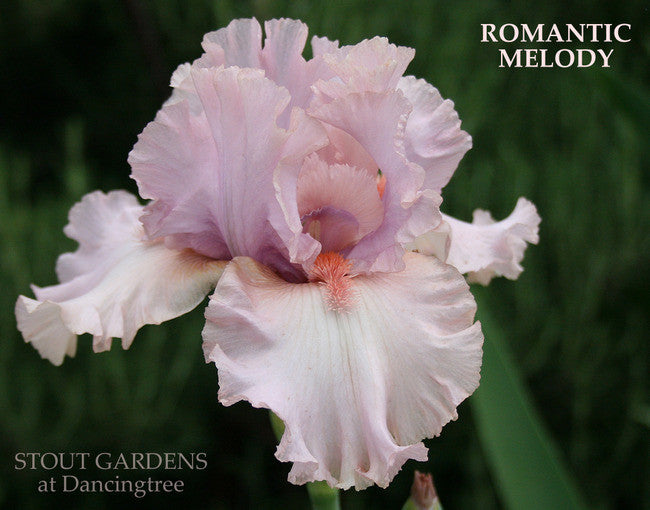 IRIS ROMANTIC MELODY