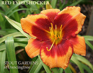 Daylily RED EYED SHOCKER